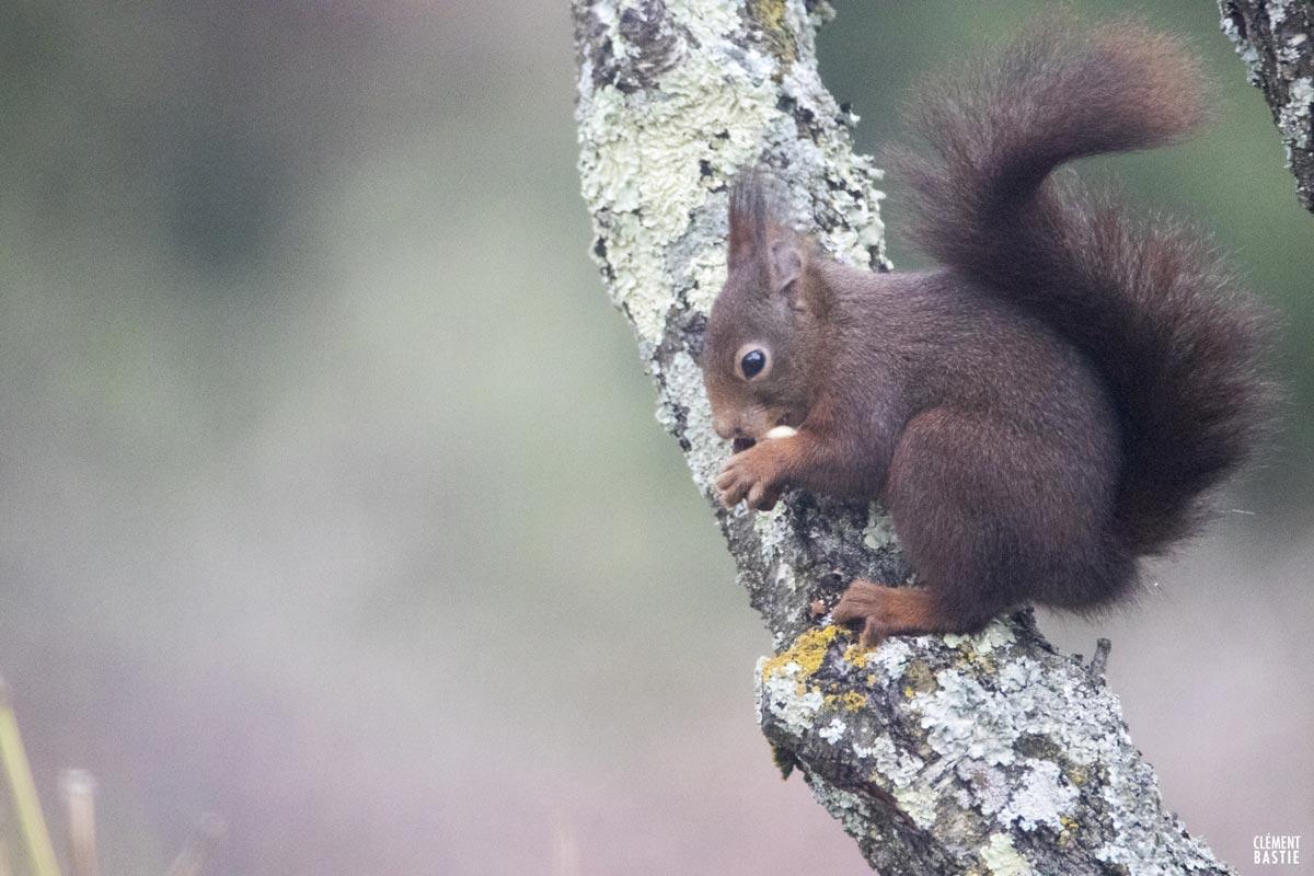 ecureuil